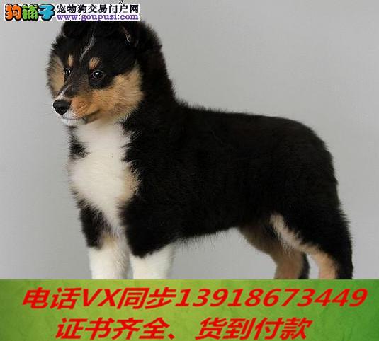 本地犬场 出售纯种喜乐蒂 包养活签协议可送货上门!!