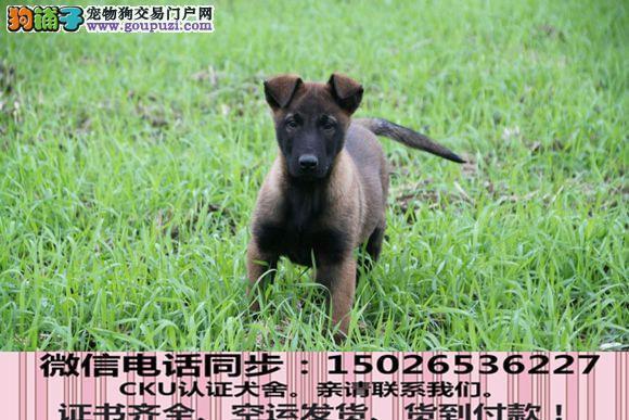 全国送货上门 马犬幼犬保健康保纯种签售后协议