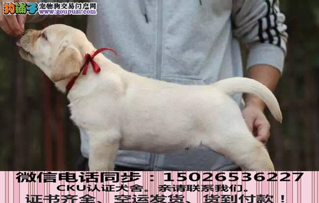 CKU认证犬舍 专业繁殖 拉布拉多幼犬 购买有保证