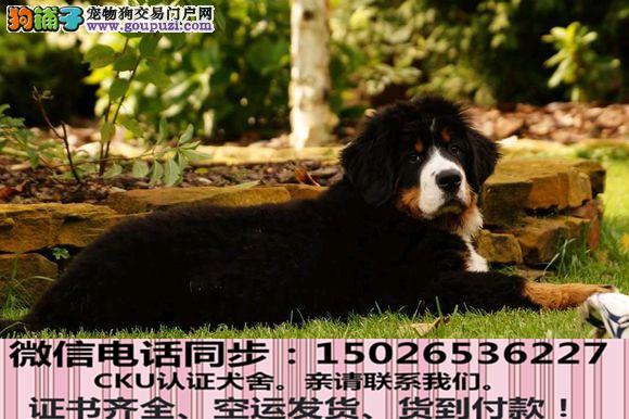 全国送货上门 伯恩山幼犬保健康保纯种签售后协议