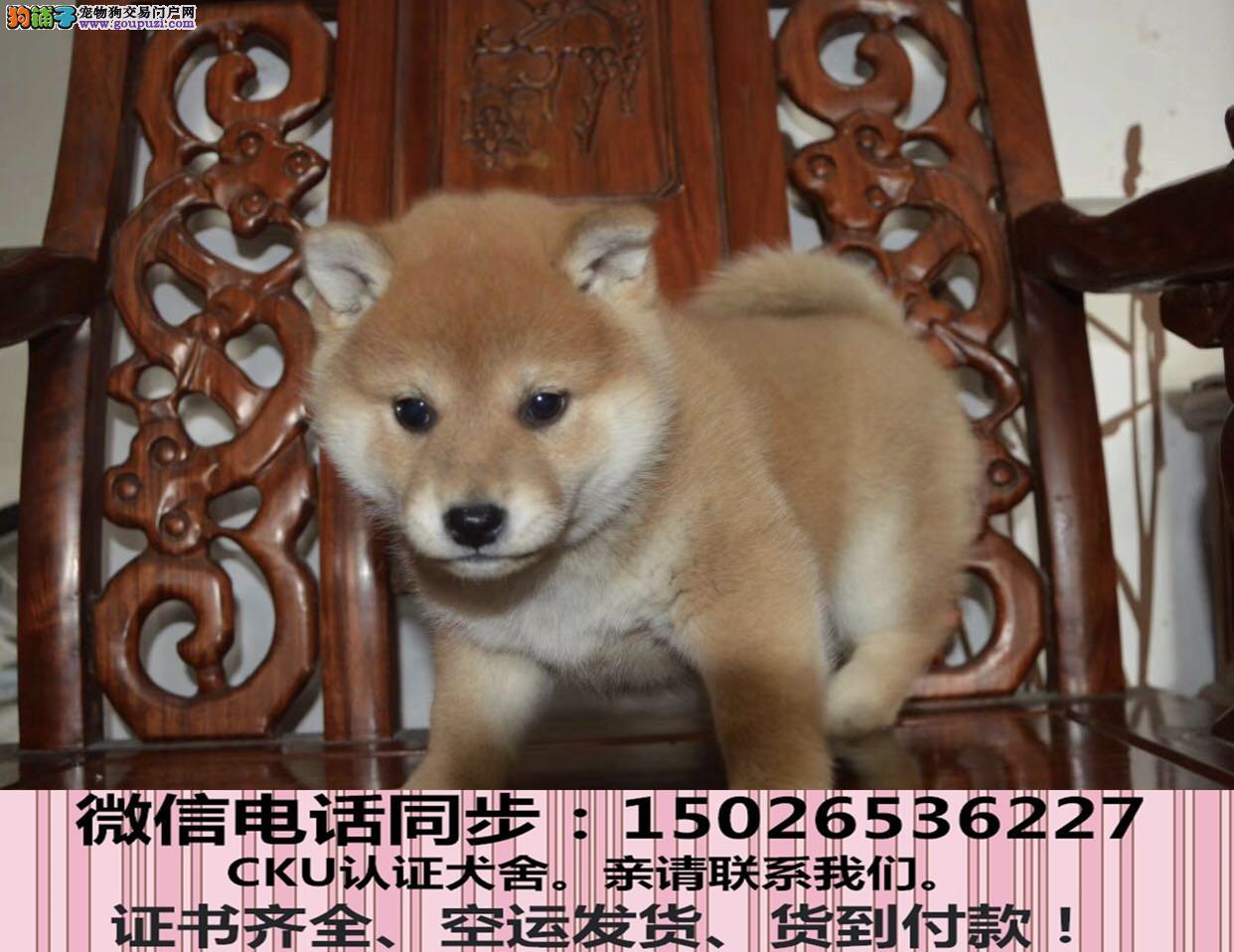 带血统出售柴犬 终身质保 质量三包