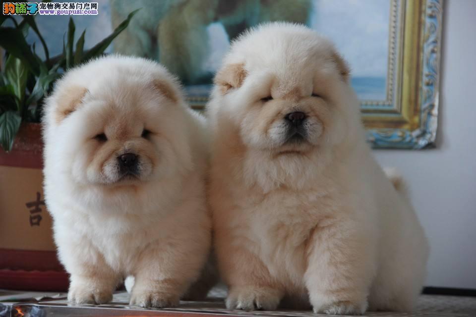 犬舍出售精品纯种1200松狮宝宝