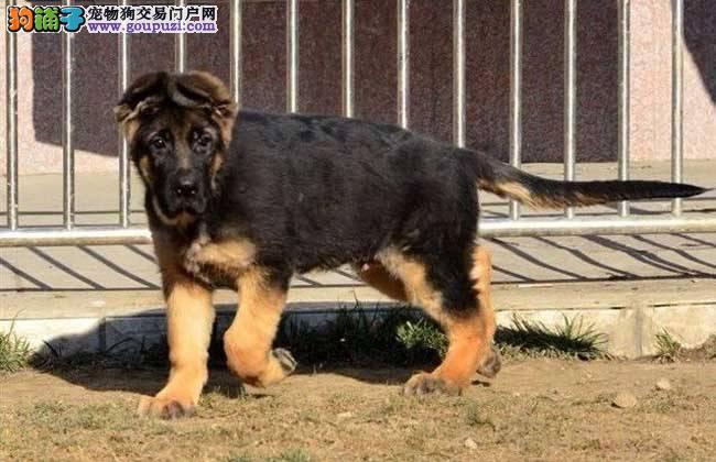 健康活泼德国牧羊犬保证品质可视频看狗