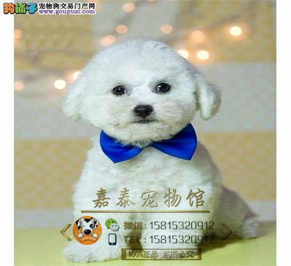 纯白色可爱比熊犬宝宝 狗场出售法国血统卷毛比熊幼犬