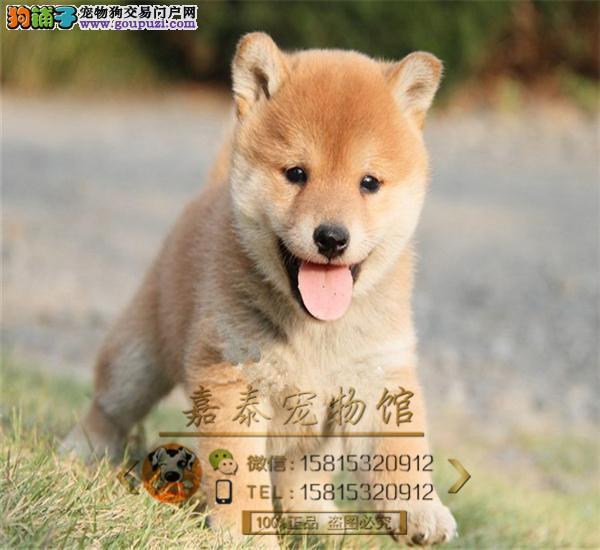 纯种日本柴犬,忠犬八公,守护你的柴犬2到3个月幼犬