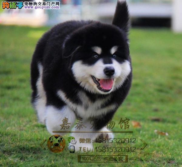 高品质巨型阿拉斯加幼犬待售 红黑灰色均有 保纯保健康