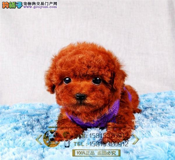 韩国超小体茶杯贵宾狗、玩具体贵宾、终身质保、签订协