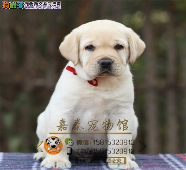 纯种大骨架宽嘴拉布拉多幼犬出售 赛级品质 证书齐全