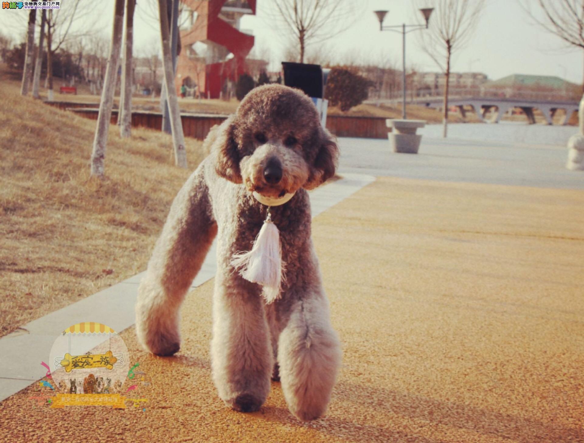 本地繁殖巨型贵宾犬,幼犬有售,纯种带血统,可视频发货