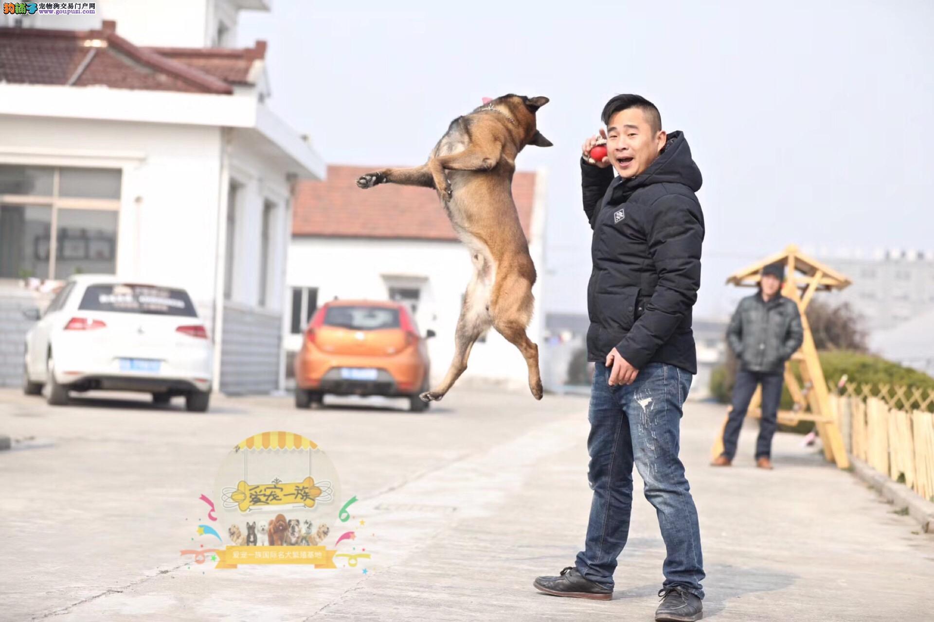 高兴奋度易训练.最时尚的警犬马犬.机不可失