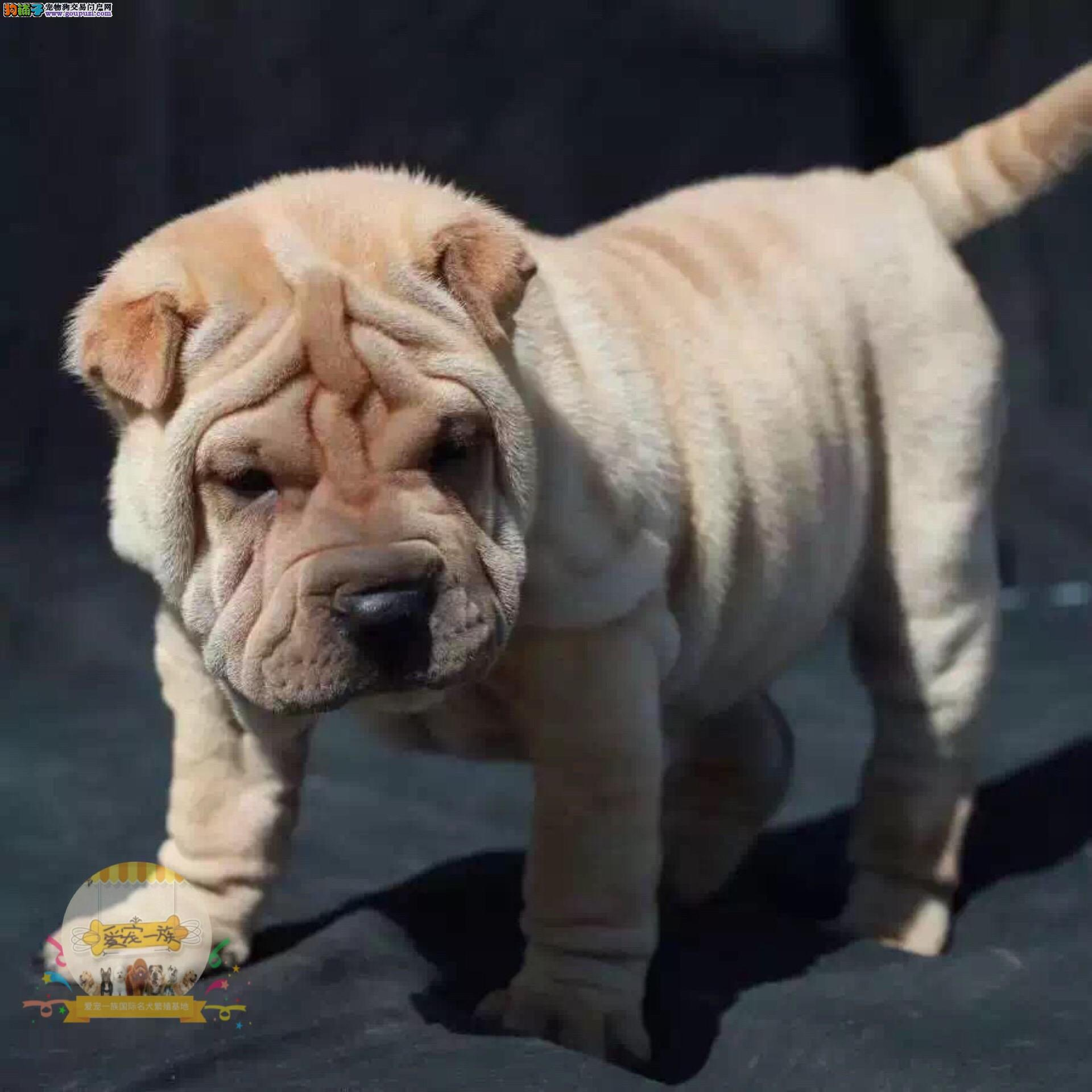皮肤最皱带有王者之气沙皮犬.优选犬舍/官方认证