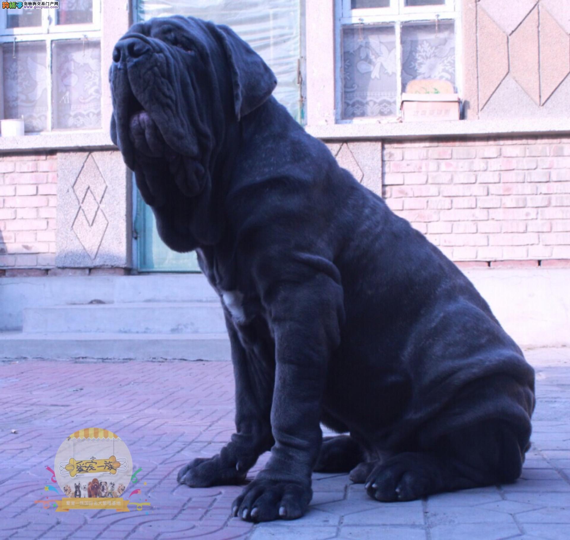 凶猛霸气 极致护卫犬纽波利顿(那不勒斯獒)幼犬出售