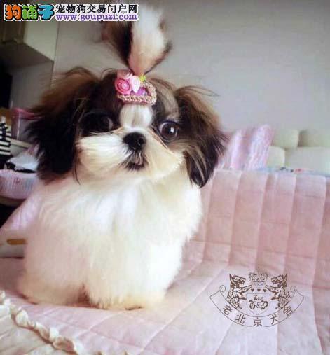 可爱西施犬出售 健康可爱 正规犬舍 签协议质保