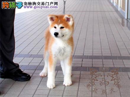 纯血统高品质秋田犬出售公母都有疫苗做齐欢迎上门挑选