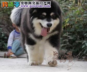 熊版大骨量巨型阿拉斯加雪橇犬 包健康 签终身合同