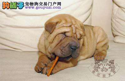 犬舍繁殖健康纯种沙皮犬公母都有疫苗做齐欢迎上门挑选