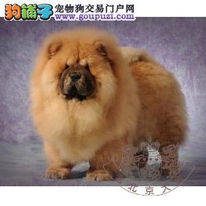 纯种高端松狮幼犬出售品相好颜色多样可挑选上门签协议