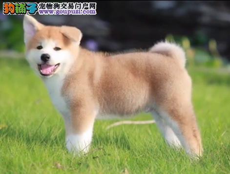 秋田幼犬出售 专业繁殖十年养殖经验 包售后