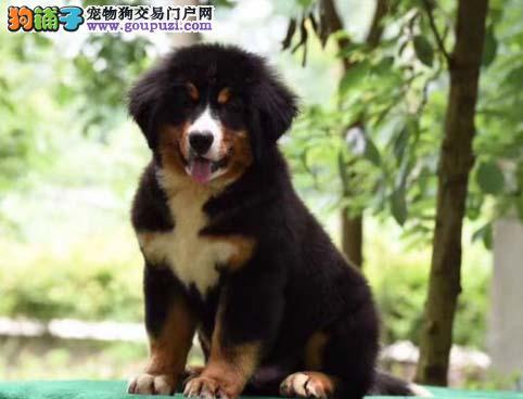 专业繁殖伯恩山十年养殖经验幼犬出售