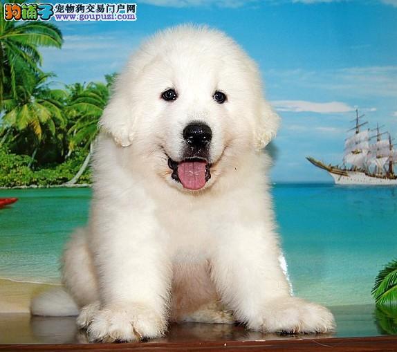 专业繁殖大白熊犬十年养殖经验幼犬出售 包售