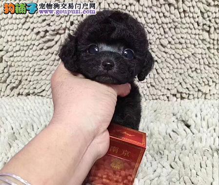 泰迪幼犬出售 专业繁殖十年养殖经验 包售后