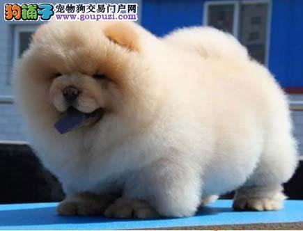 悲苦表情的松狮犬 集美丽高贵自然于一身