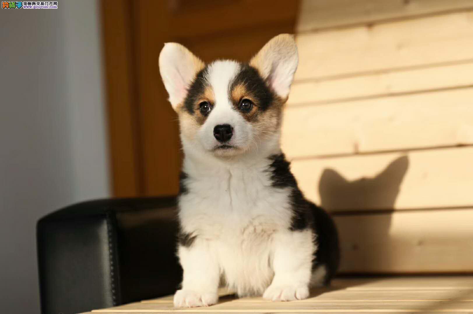 柯基幼犬出售 专业繁殖十年养殖经验 包售后