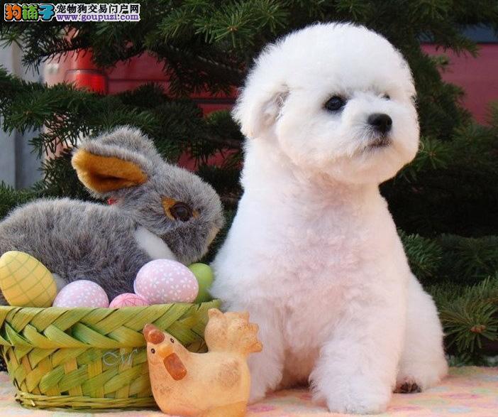 比熊幼犬出售 专业繁殖十年养殖经验 包售后