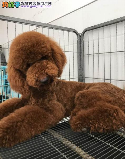 巨型贵宾犬出售 专业繁殖十年养殖经验 签协议