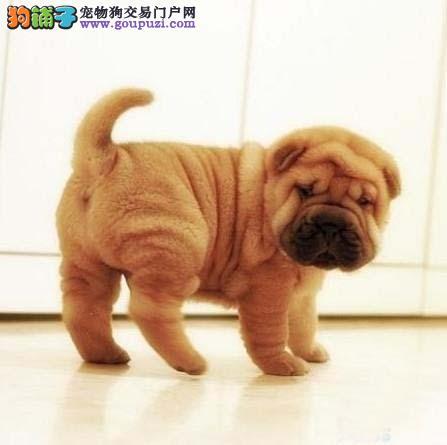 沙皮幼犬出售专业繁殖十年养殖经验包售后