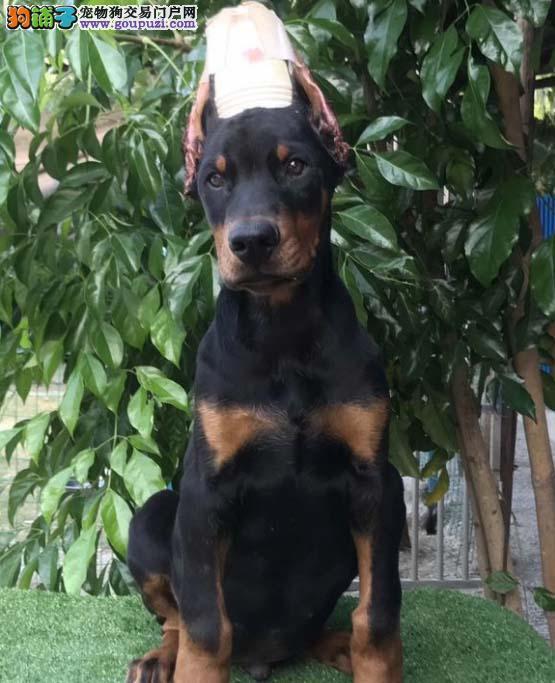 杜宾犬繁殖 十年经验 专注于品质幼犬出售