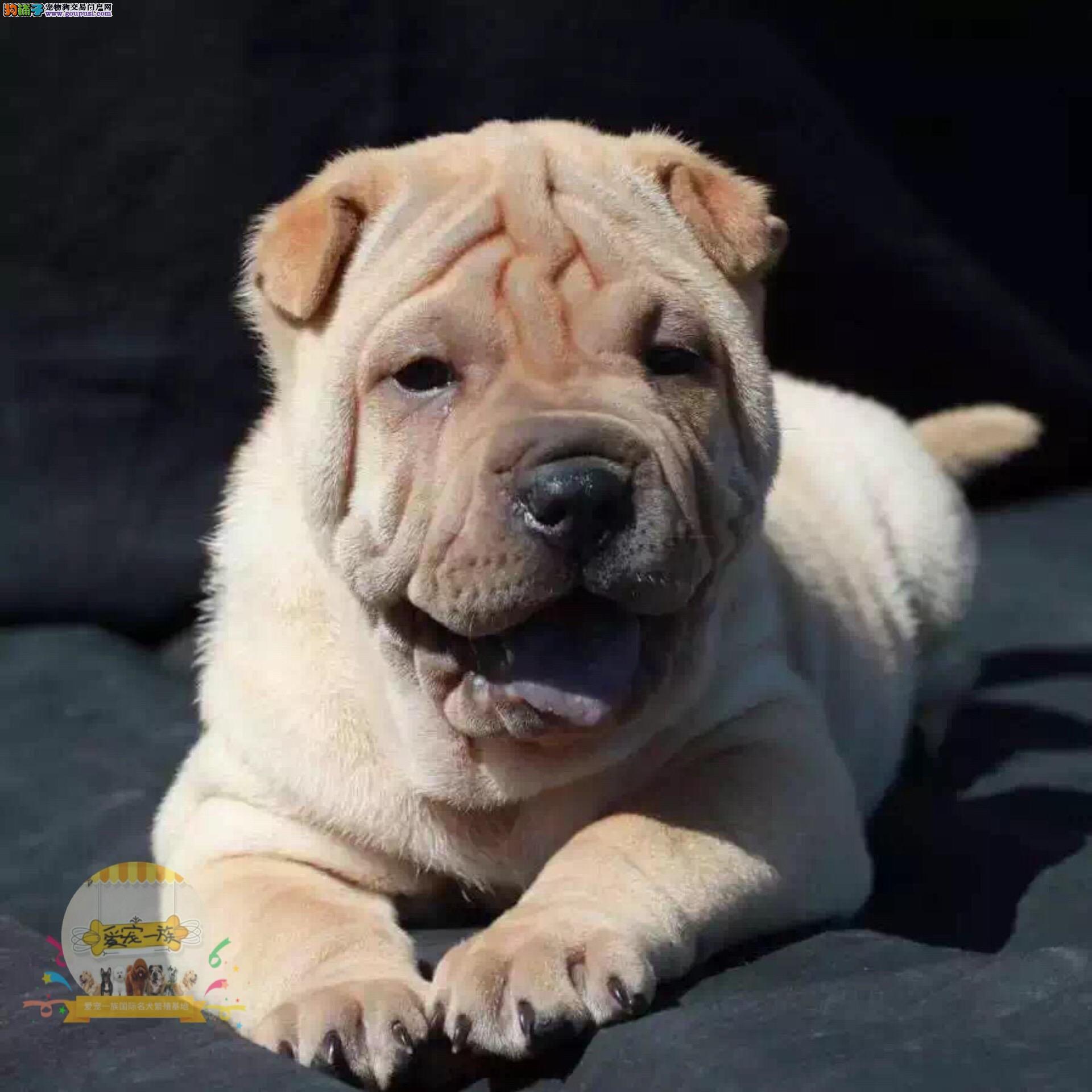 对主人忠诚 纯种沙皮犬 超可爱 健康纯正狗狗