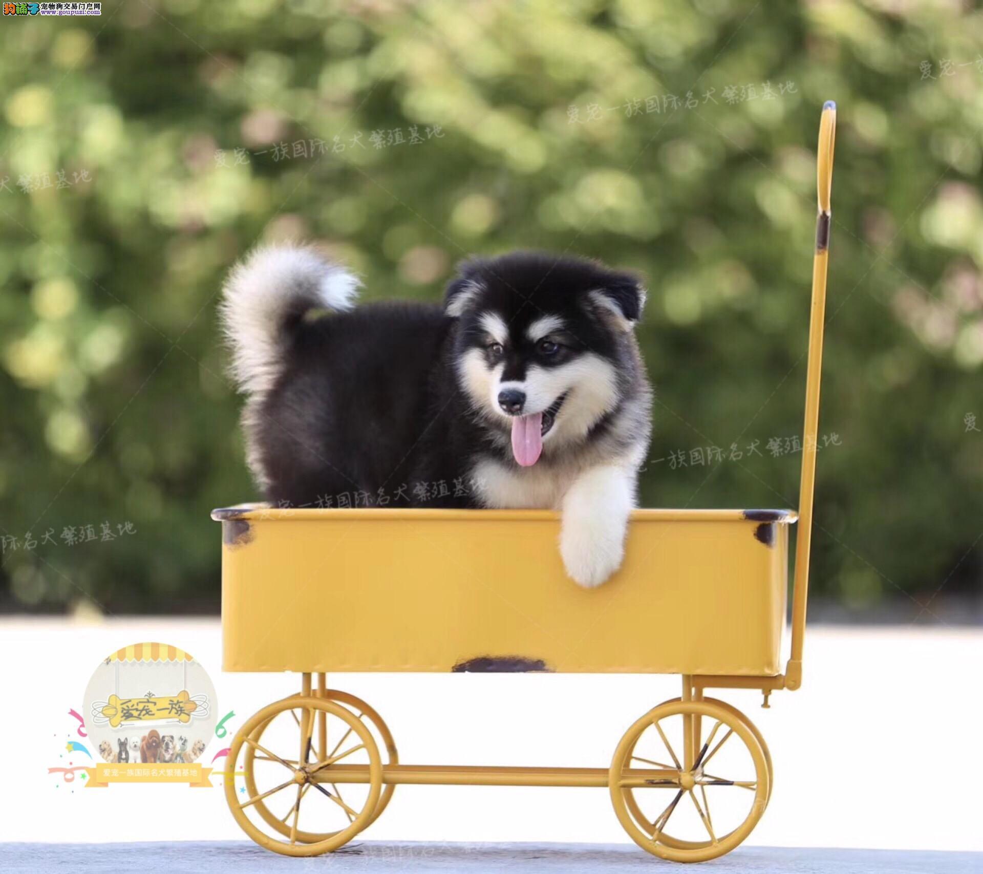 高大威猛,性格温顺,大型阿拉斯加犬 高贵华丽