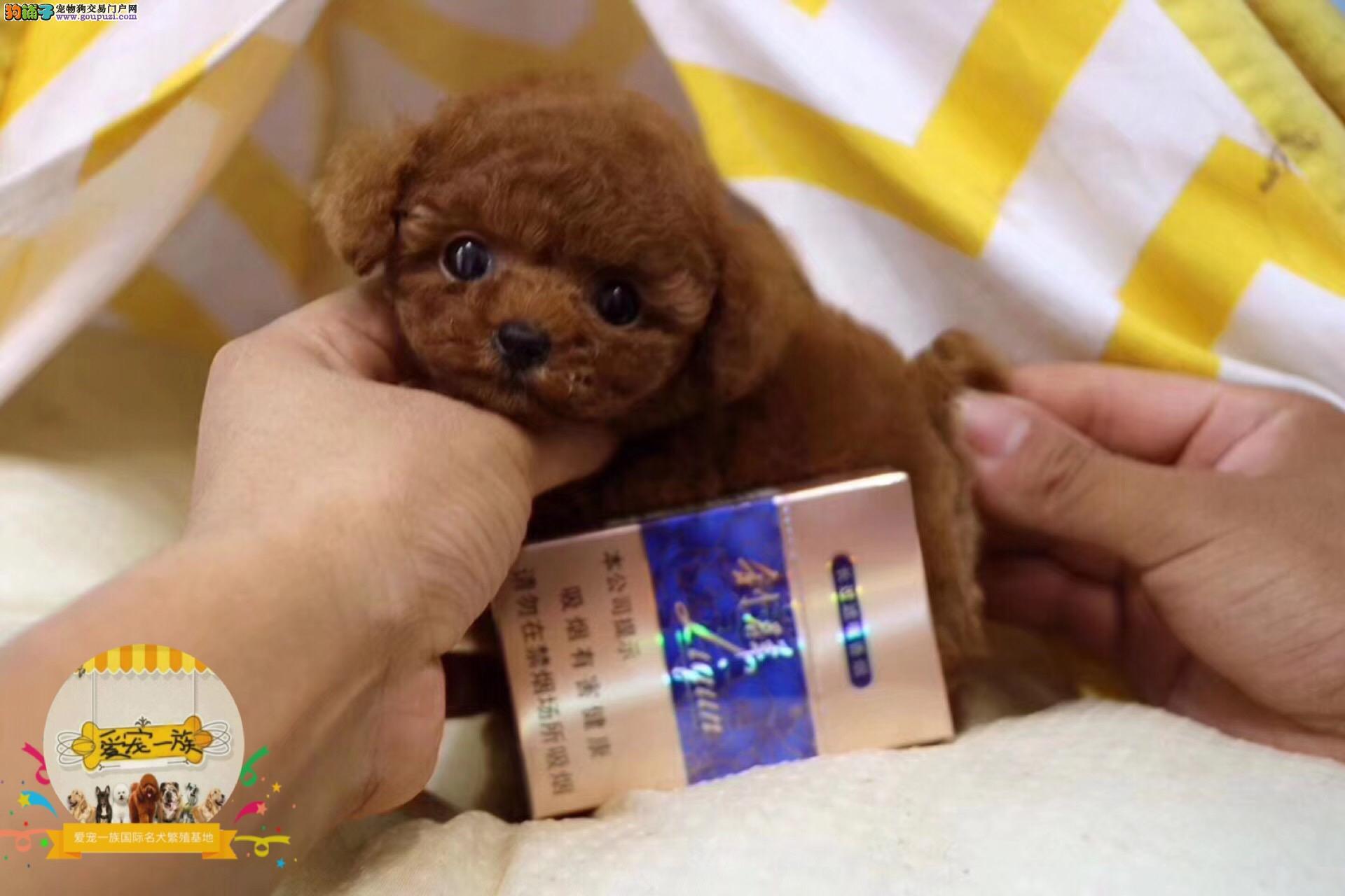 天津本地人自己繁殖博美泰迪约克夏雪纳瑞茶杯犬