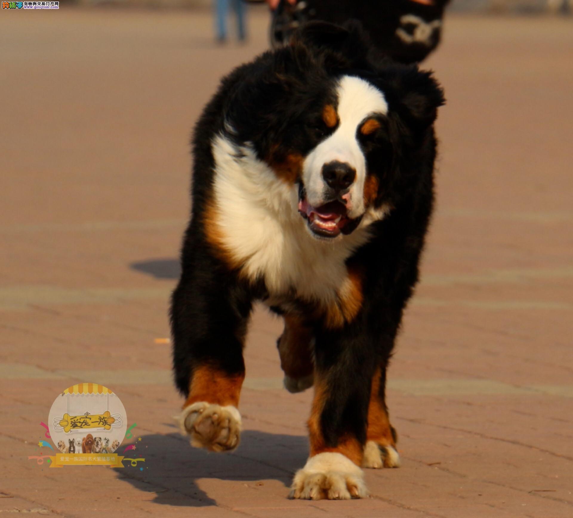 强壮有力 性格温顺 忠实的伴侣犬伯恩山宝宝出售