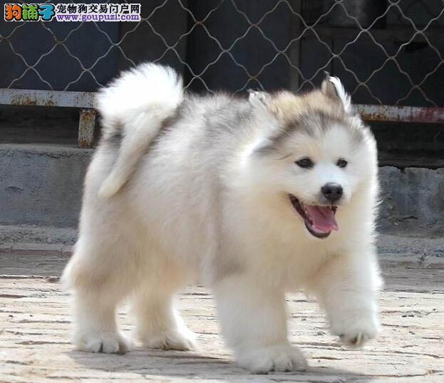 高品质纯种阿拉斯加,犬舍繁殖健康质量保证