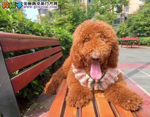 出售气质巨型贵宾犬巨贵幼犬,可爱玩具大泰迪活体