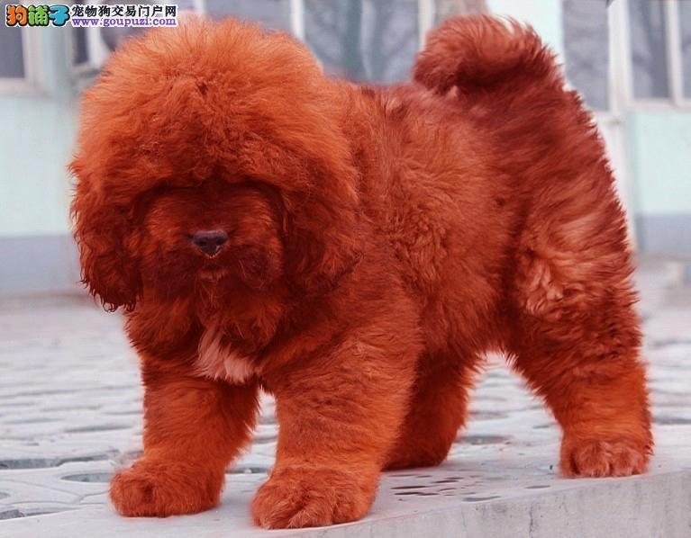 纯种铁包金红獒雪獒大狮子头藏獒幼犬