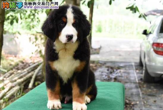 纯种健康的伯恩山犬出售家庭伴侣犬