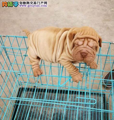 专业繁殖出售活泼可爱纯种温顺憨厚沙皮幼犬