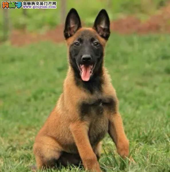 纯种马犬幼犬 疫苗驱虫齐全 可签协议送货