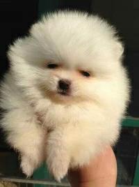 博美犬闵行区出售的狗场地址 价格照片