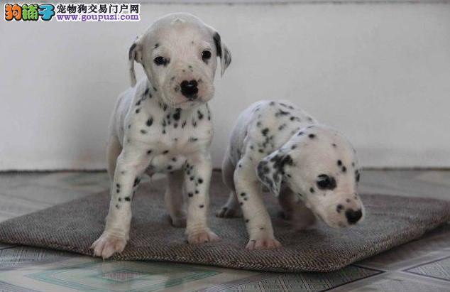 斑点狗闵行区出售的狗场地址 价格照片