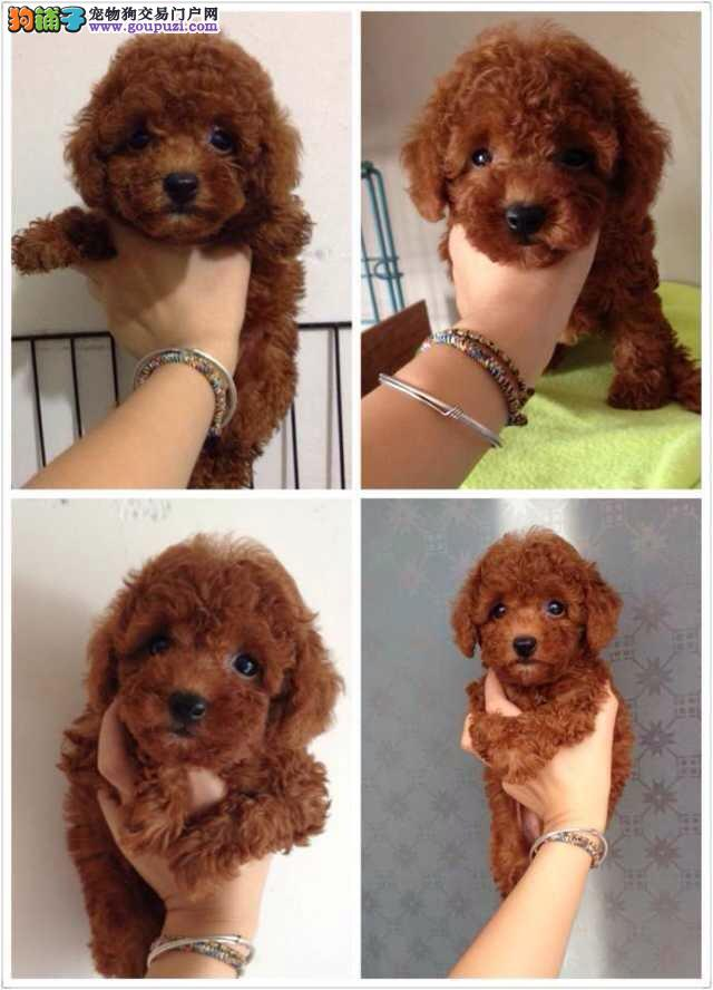 泰迪犬闵行区出售的狗场地址 价格照片