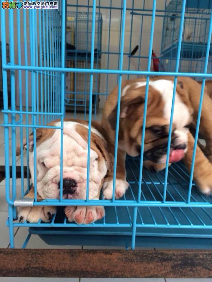 松江区英国斗牛犬繁殖基地出售包健康纯种