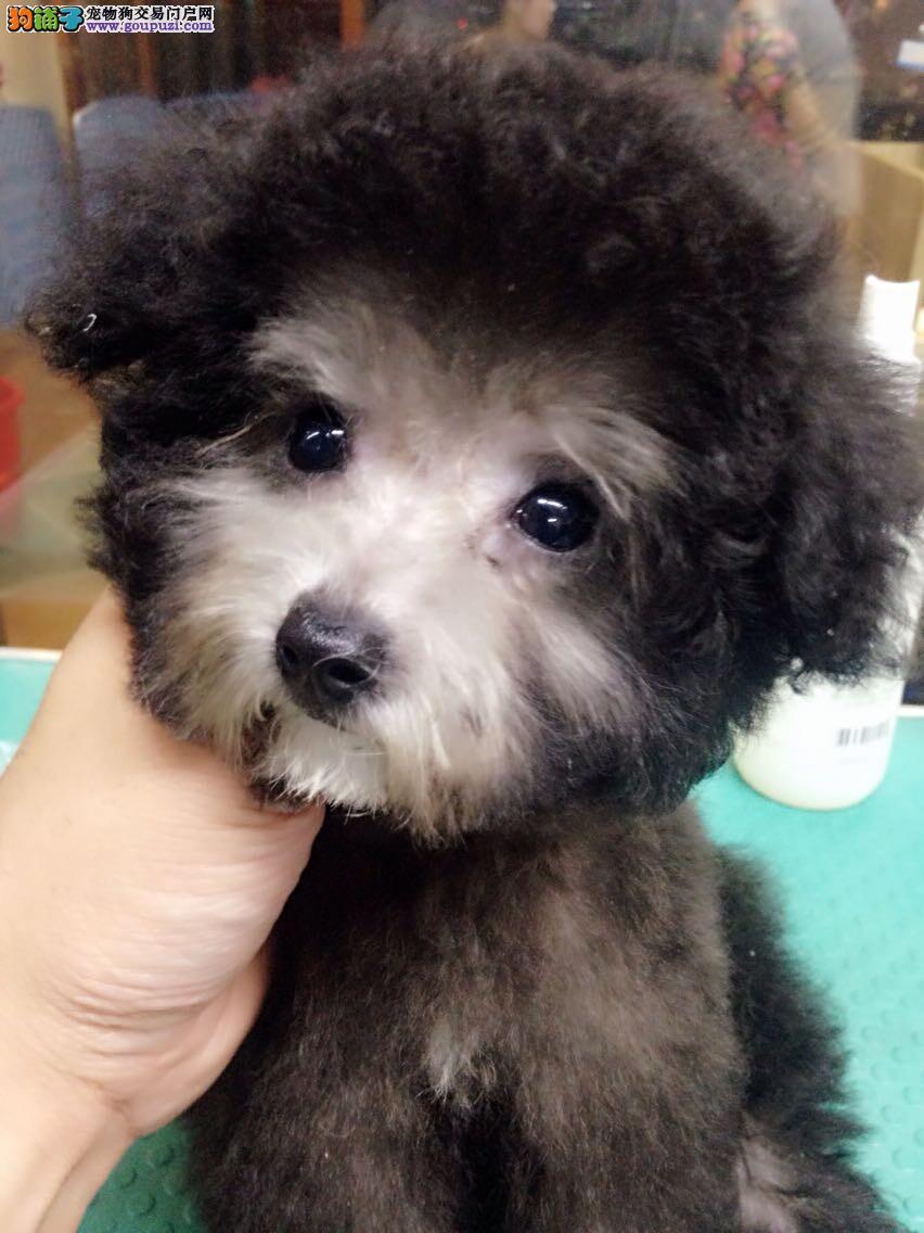 松江区泰迪犬繁殖基地出售包健康纯种
