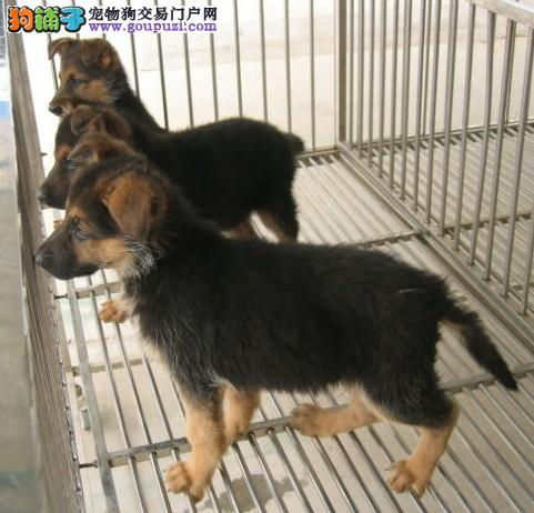 松江区狼狗繁殖基地出售包健康纯种