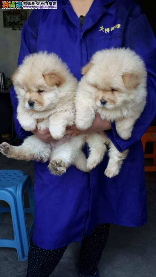 松江区松狮犬繁殖基地出售包健康纯种