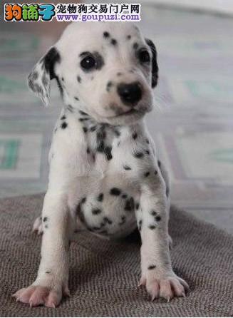 松江区斑点狗繁殖基地出售包健康纯种