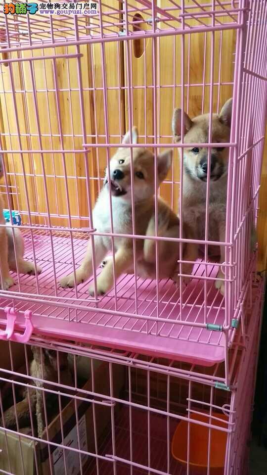 青浦区柴犬幼犬哪里买青浦区狗场地址